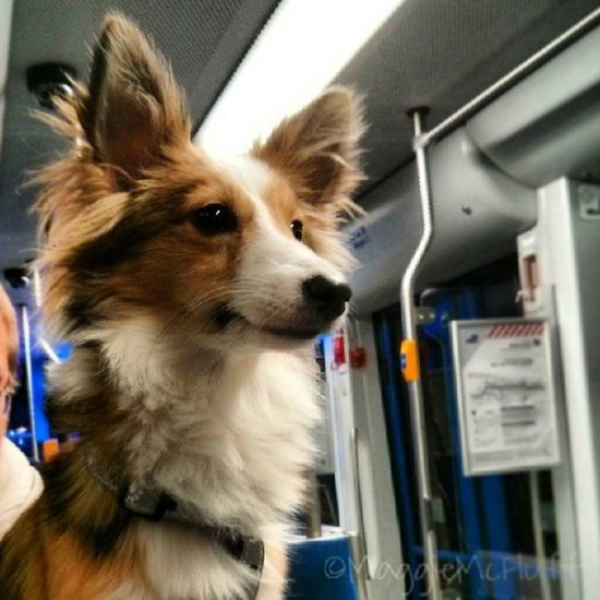 Travelling. Sheltie Sheltiemix Maggiemcfluff Mutt tram travel reise mixedbreed
