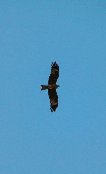 Bird Of Prey Bird Spread Wings Flying Clear Sky Bald Eagle Blue Full Length Sky Animal Themes Beak Eagle - Bird