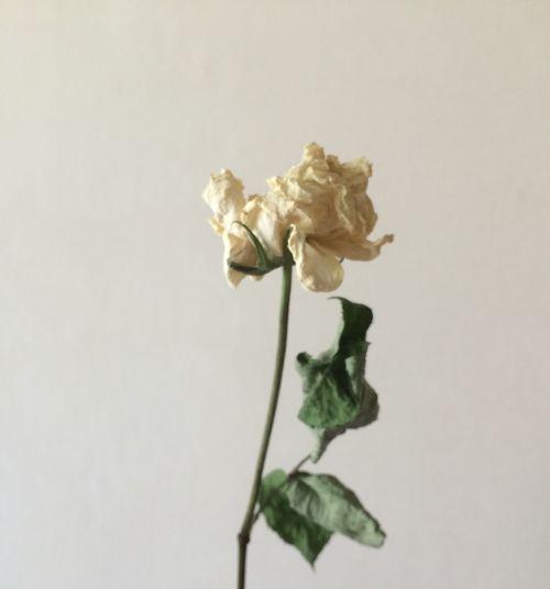 Dry Flower  Rosé VSCO