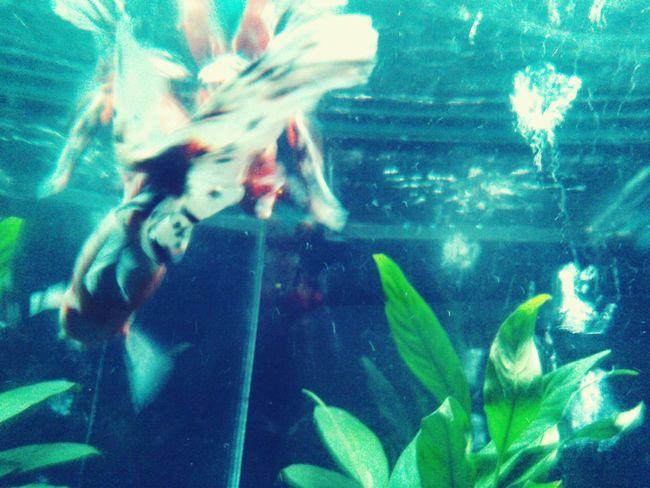 Goldfish Love My Favorite