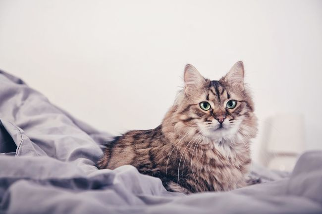 Always Be Cozy Domestic Cat Domestic Animals Pets Looking At Camera Mammal Animal Themes Bed One Animal Bedroom Portrait Feline Lying Down Indoors  Close-up No People Day Warm Fluffy Cute Cats Cute Cute Pets