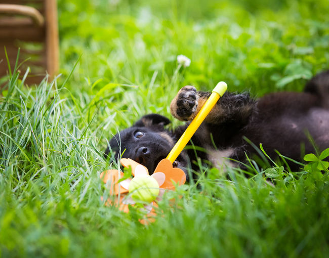 Cute black puppy playing in the grass AdoptDontShop Dogs Of EyeEm Grass Green Happy Love Summertime Adopt A Shelter Pet Dog Dog Love Mammal Nature Pet Puppy Puppy❤