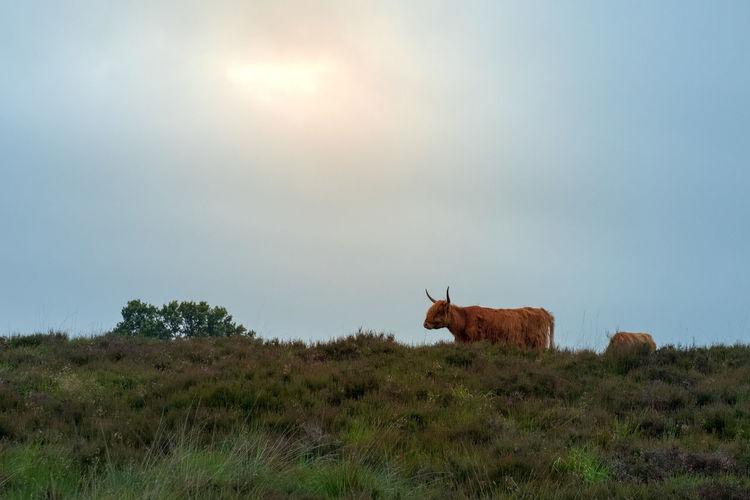 Bos Taurus Scottish Cattle Animal Animal Themes Animal Wildlife Beauty In Nature Deelerwoud Domestic Domestic Animals Environment Field Fujifilm_xseries Grass Herbivorous Land Landscape Livestock Mammal Nature No People Outdoors Sky Sun Sunlight Vertebrate