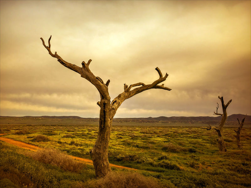 The sun broke between the clouds and I saw the tree, the dead tree with the sun's golden light playing on the tree's limbs - it was then I knew that everything would be alright. © Rosa Perry. Taken at Willochra, South Australia, Australia. View against a dirty stormy sky with the sun peeking out saying hello. The Week On EyeEm Bare Tree Beauty In Nature Branch Day Dead Plant Dead Tree Field Grass Landscape Lone Nature No People Outdoors Scenics Sky Tranquil Scene Tranquility Tree Tree Trunk See The Light