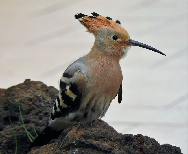 Animal Themes Animal Wildlife Animals In The Wild Beak Bird Close-up Day Hoopoe Hoopoe Bird Nature No People One Animal Outdoors Perching