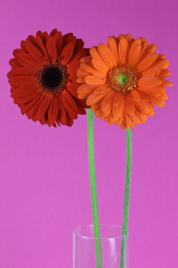 Colorful gerbera flowers in vase Happiness Vase Beauty In Nature Colored Background Flower Flower Arrangement Flower Head Flowering Plant Fragility Freshness Gerbera Gerbera Daisy Grow Growth Indoors  Inflorescence Nature No People Petal Pink Background Pink Color Plant Studio Shot Summer Vulnerability