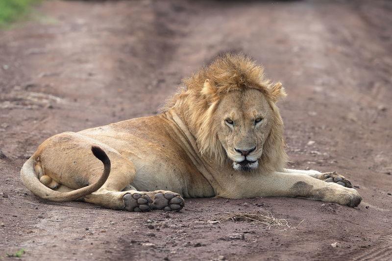 Lion resting in a field