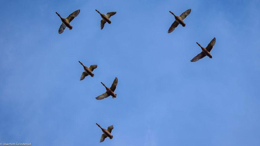 Ducks in V-formation