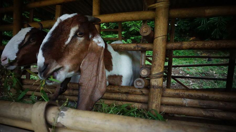goat on Mammal