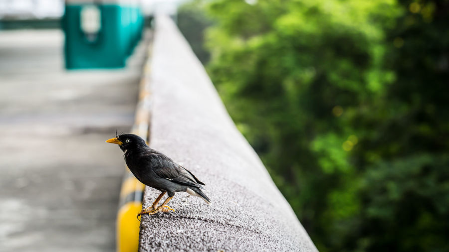 Mynah bird Animal Themes Avian Beauty In Nature Bird Black Color Close-up Day Focus On Foreground Mynah Nature No People Outdoors Perching Pigeon Selective Focus Wildlife