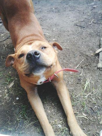 perseus Dog Pit Bull Terrier American Pit Bull Terrier Perseus Love Animal Love