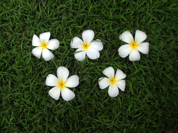 Close-up of white daisy flowers blooming in grassy field