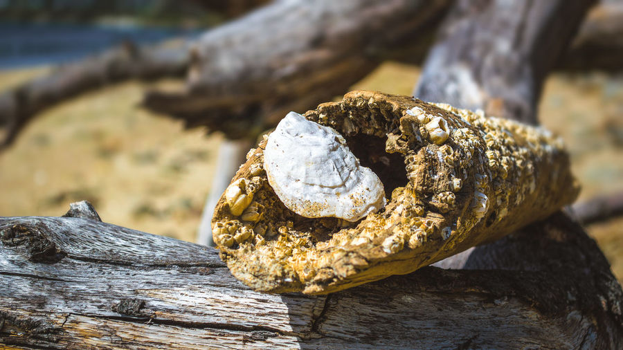 Close-up of shell on driftwood at beach