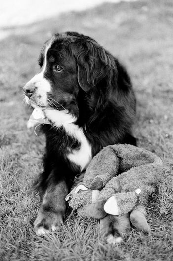 35mm Film Love Pet Portraits Play Time Unconditional Love Animal Themes Bernese Mountain Dog Best Friends Blackandwhite Dog Domestic Animals No People One Animal Pet Toy Pets Play Puppy Toy