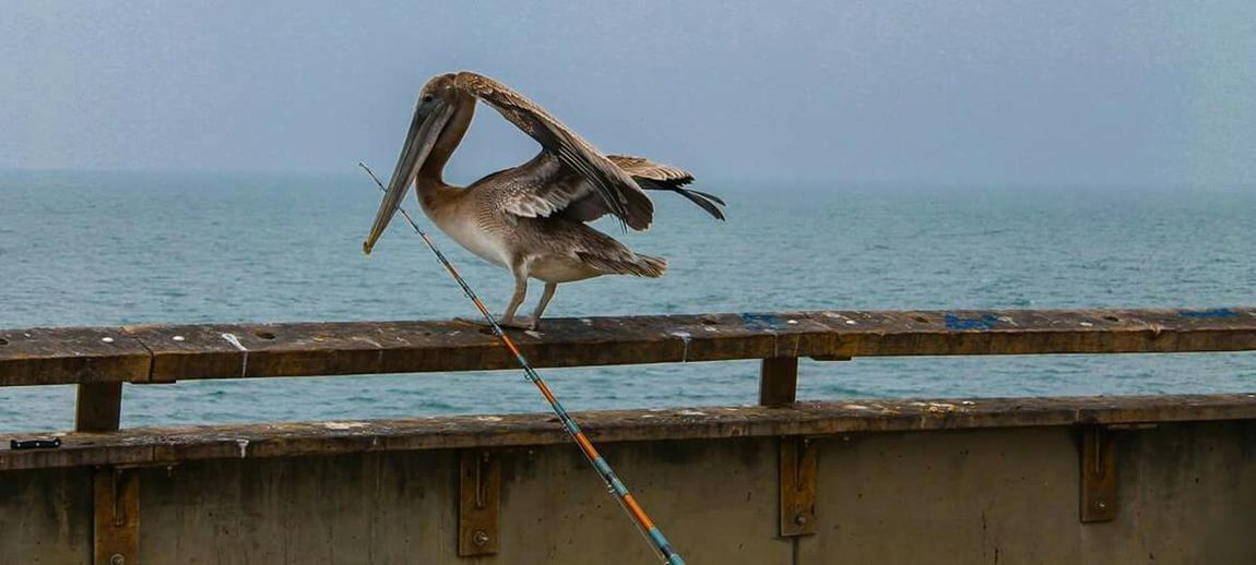 fly Venice Beach Pier Pelican