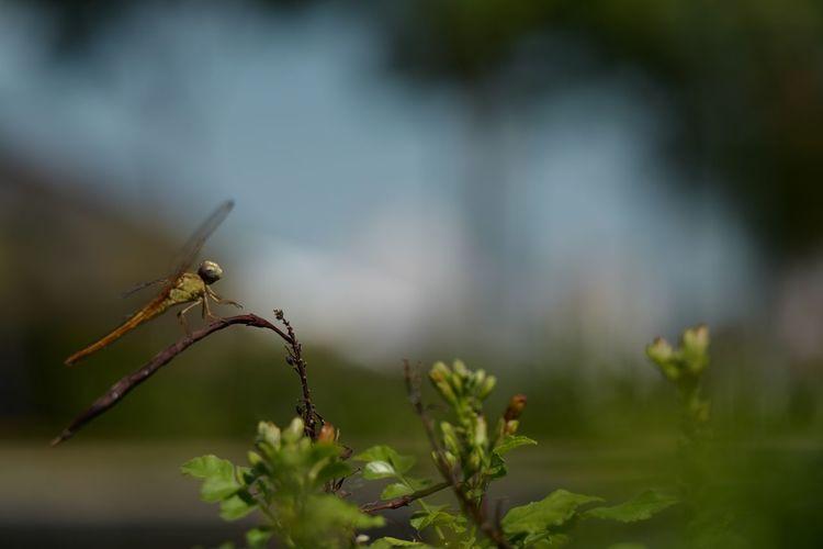 蜻蜓 夢 Eyeem Market EyeEm Nature Lover Dragonfly Nature Insects Eyeem Singapore Eyeeminsect Dragonfly Plant Close-up Invertebrate Insect Focus On Foreground Day Beauty In Nature Selective Focus Green Color Nature Plant Part No People Leaf Outdoors
