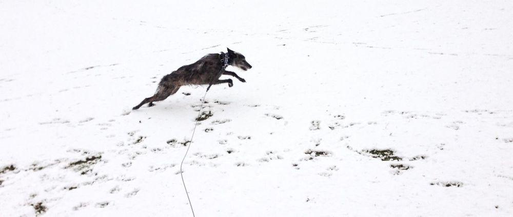 Enjoying Life LEO... The One Eyed Lurcher... Bushy Park I Love My Dog Lurcher First Snow Snow Sighthound Hampton Hill