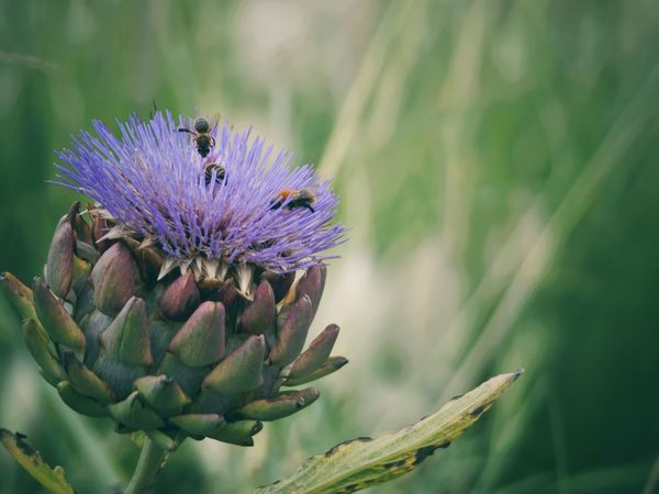 Bienchen an Artischocke 😉 Flower Nature Beauty In Nature Purple Fragility Growth Petal Plant Flower Head No People Freshness Blooming Close-up Day Outdoorsa:Bees]:thistle] Bees And Flowers OMD EM1