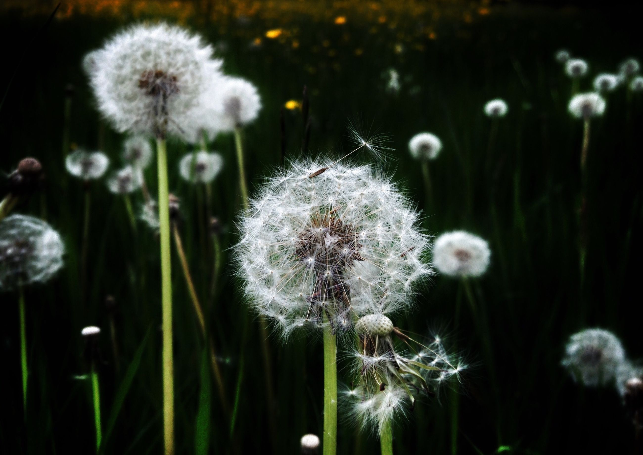 flower, dandelion, fragility, freshness, growth, flower head, beauty in nature, nature, close-up, focus on foreground, wildflower, stem, dandelion seed, white color, plant, uncultivated, softness, field, day, no people