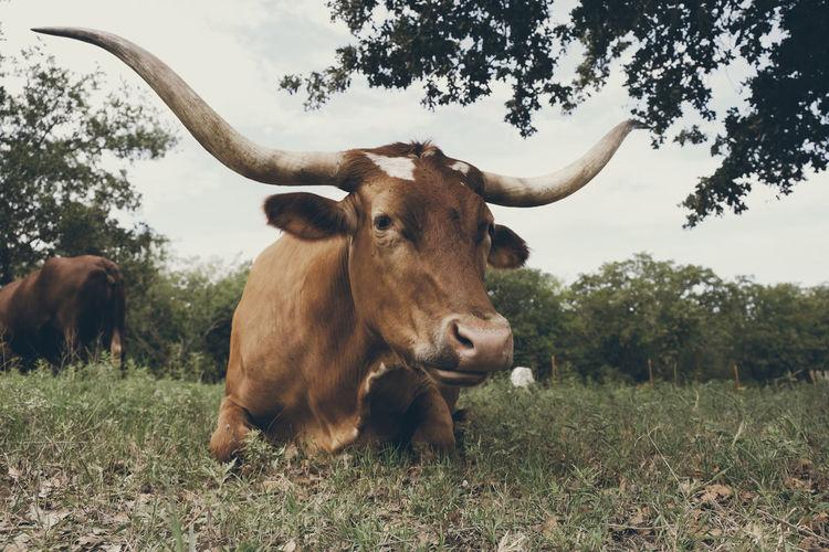 Cow sitting on grassy land