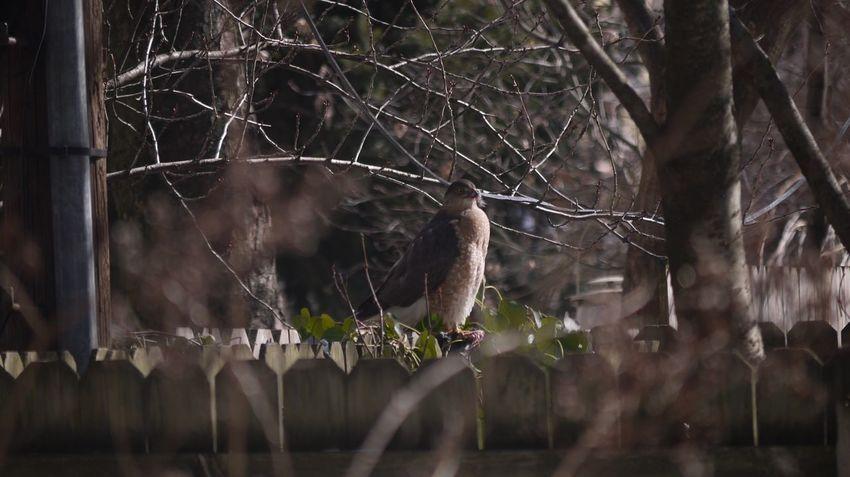 Brooklyn Park Slope Park Slope, Brooklyn Eagle Backyard Wildlife American Eagle Winter President's Day