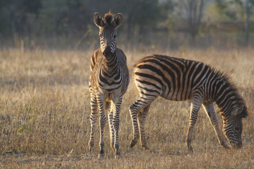 Animal Themes Animal Wildlife Animals In The Wild Beauty In Nature Day Grass Mammal Nature No People One Animal Outdoors Safari Animals Standing Zebra Zebra