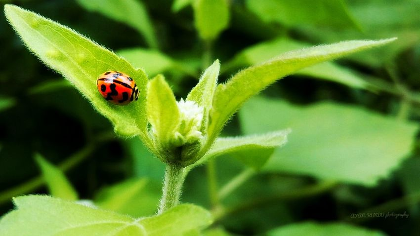 Ledy bug on the green lives Insect One Animal Ladybug Red Leaf Green Color Plant No People Outdoors Nature Day Animals In The Wild Animal Themes Close-up Animal Wildlife
