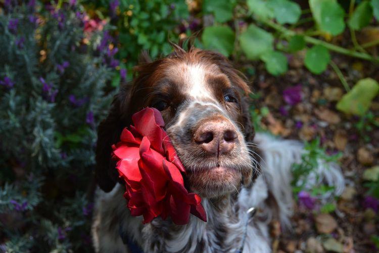 saturdog Rosé Pets Portrait Dog Red Close-up Animal Nose Animal Ear Animal Face Animal Mouth Snout Nose Adult Animal
