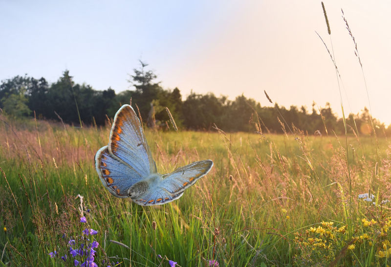 Flying into the new day - Photomontage Beauty In Nature Butterflies Butterfly Butterfly - Insect Butterfly Collection Butterfly ❤ Close-up Day Field Grass Growth Insect Insects  Meadow Nature Nature Nature_collection No People Outdoors Photoshop Photoshop Edit Sky Sunrise Sunrise_Collection Sunset