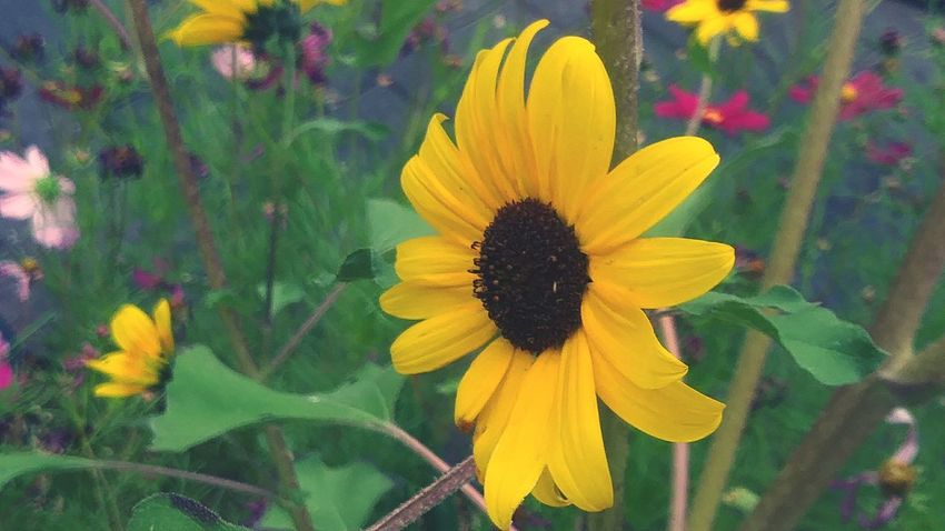 Darker Flower Petal Yellow Fragility Flower Head Growth Plant Freshness Beauty In Nature Nature Blossom Pollen Sunflower Springtime Outdoors Day Close-up Blooming Black-eyed Susan Beauty Sunflower Nature_collection Multi Colored Flowers_collection Stand Alone Beauty