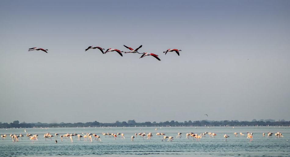Flock of flamingo birds flying over sea against sky, camargue, france