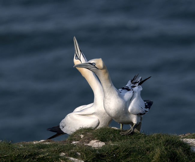 Gannets on grass against sea