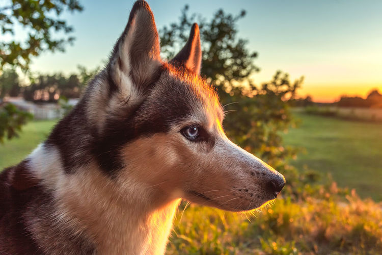 Husky dog looking into the sunset, smart dog Animal Beautiful Cute Domestic Husky Mammal Nature Portrait Background Cool Dog Cute Dog  Dog Background Thinking Husky Dog Outdoor Sunset Background Adorable Beauty Beige Blue Breed Brown Canine Climate Cold Dog Eyes Face Fluffy Forest Free Freedom Fur Happy Landscape Look Looking Love Lying Outdoors Park person Pet Pretty Purebred Red Russia Sakhalin Siberian Sled Snow Sun White Wild Winter Wolf Young One Animal Pets Animal Themes Domestic Animals Close-up Focus On Foreground No People