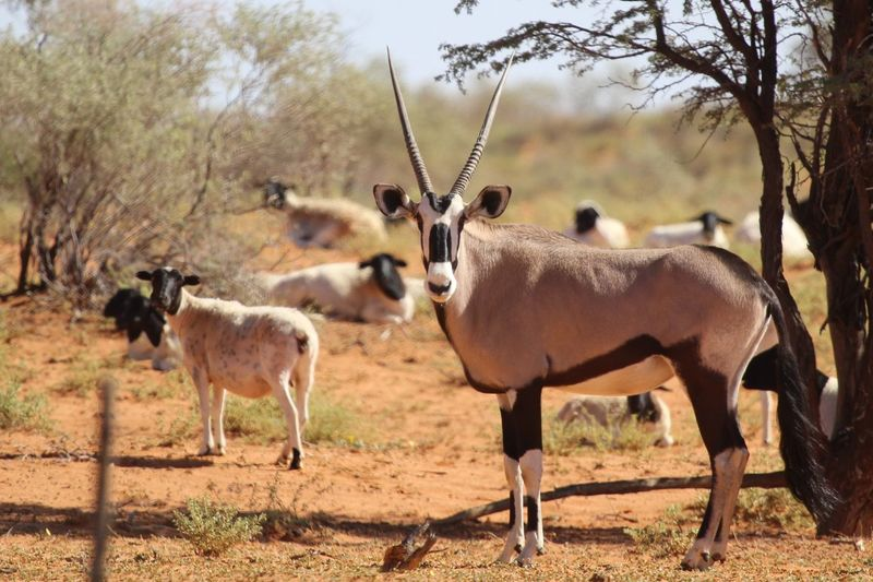 Oryx on field in forest