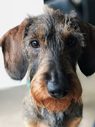 Dog Dackel Close-up Dackelblick Pets Domestic Animals One Animal Mammal Portrait Animal Themes Focus On Foreground Looking At Camera No People Day Outdoors