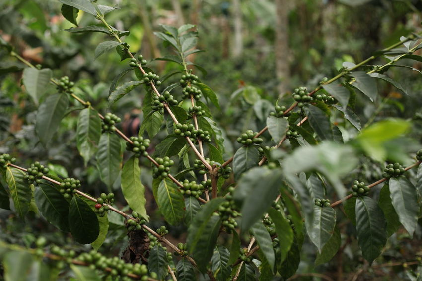 Nature Plant Coffee Beans Coffeeplant Coffee Colombian  Close-up Leaf Nature Outdoors