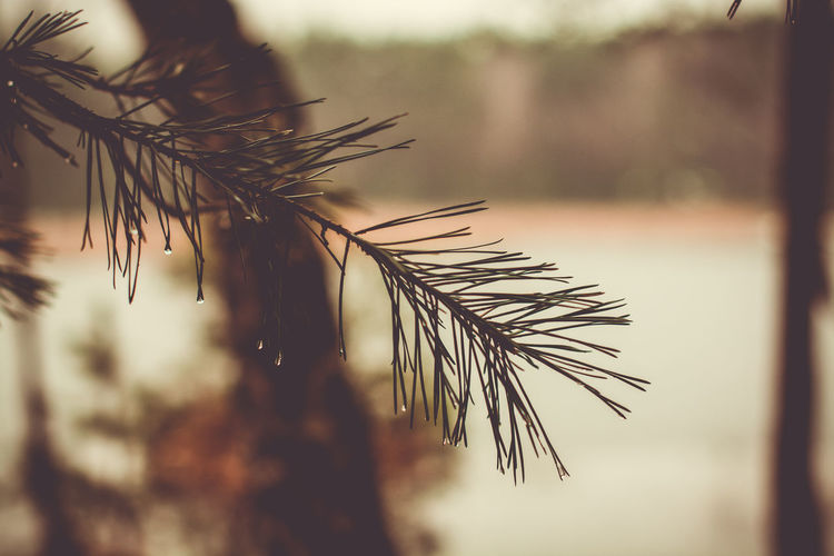 Dew Drops Melancholic Landscapes Pine Rain Beauty In Nature Close-up Day Drops Of Water Drops On Leaves Focus On Foreground Freshness Growth Moody Nature No People Nostalgic  Outdoors Pine Tree Pine Twig Plant Sky Tree Twig Water