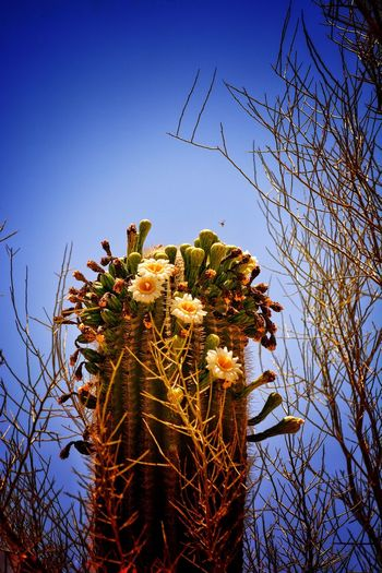 Desert beauty Natural Beauty! National Park Cactus Cactus Flower Growth Tree Low Angle View Nature Sky No People Plant Flower Beauty In Nature Clear Sky Blue Outdoors Freshness Day