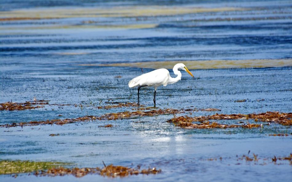 Bird Hunting  Caribbean Ocean Animal Themes Animal Wildlife Animals In The Wild Beauty In Nature Bird Day Egret With Ocean Background Great Egret Lake Nature No People Ocean One Animal Outdoors Water Waterfront