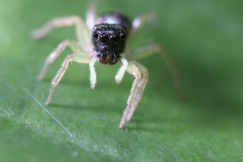 Jumping Spider Animal Animal Eye Animal Themes Animal Wildlife Animals In The Wild Arachnid Arthropod Close-up Day Green Color Insect Invertebrate Leaf Nature No People One Animal Plant Plant Part Selective Focus Spider Zoology