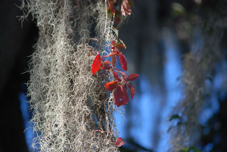Spanish Moss Nature Outdoors Blue Nature Photography Trees Peaceful Red No People Day