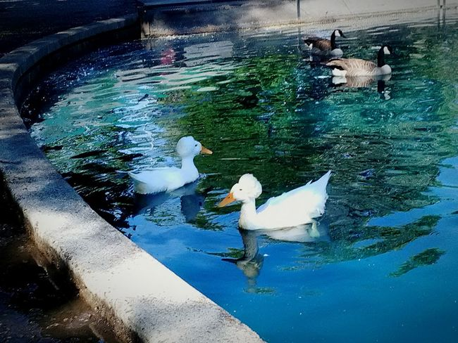 Ducks and geese Animals In The Wild Reflection Bird Nature Outdoors Animal Themes Beauty In Nature No People Nature Water Calm Happiness Peace Geese Fragility Place Of Heart The Great Outdoors - 2017 EyeEm Awards