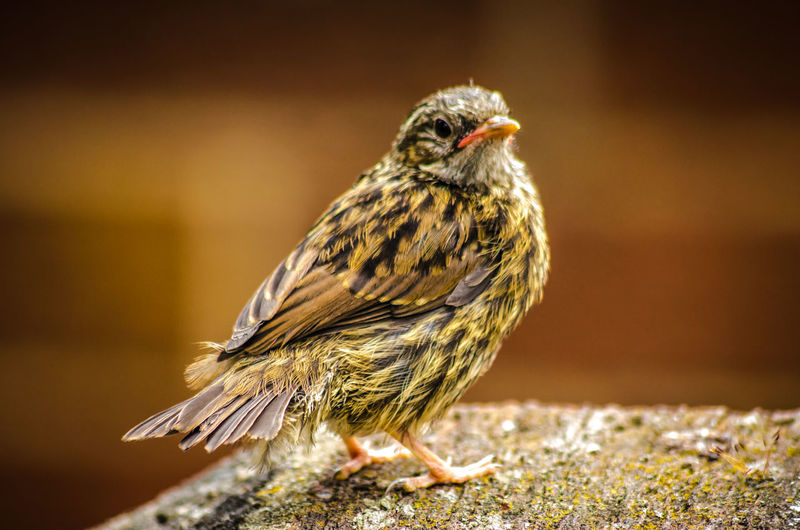 Close-up of a house sparrow fledgling